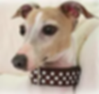 Safety - Martingale Collars | Richardson, TX | TX Italian Greyhound Rescue Inc.