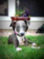 Volunteer | Richardson, TX | TX Italian Greyhound Rescue Inc.