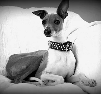 Volunteer | Richardson, TX | TX Italian Greyhound Rescue Inc.