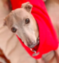 Resources | Richardson, TX | TX Italian Greyhound Rescue Inc.