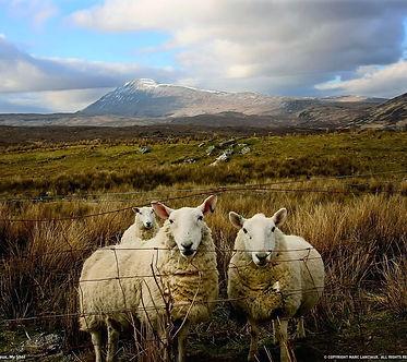 3 sheep walk into a field.jpg