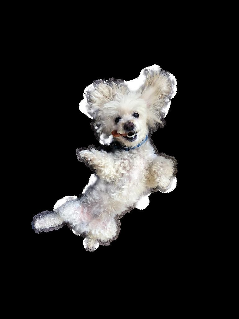 Beau smiling mini poodle.png