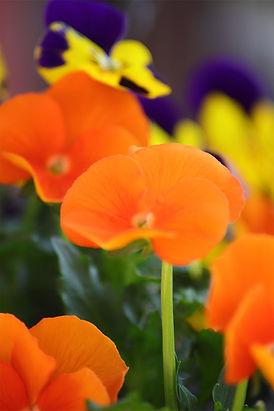 orange and purple flowers.jpg