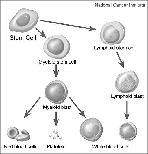 Illustration by Alan Hoofring showing blood differentiation pathway