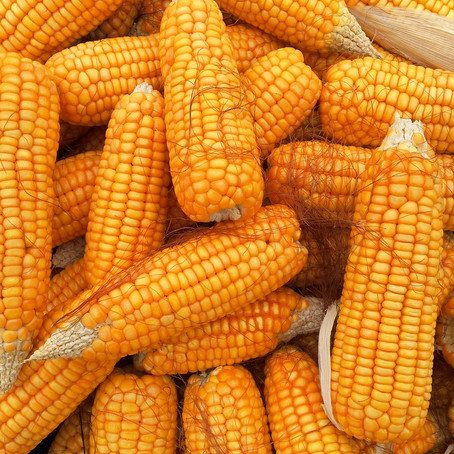 The Scoop on Corn