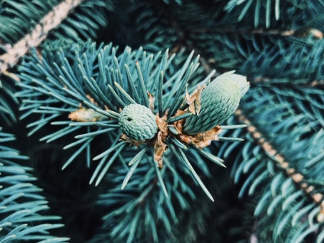 Harvesting + Creating with Spruce Tips
