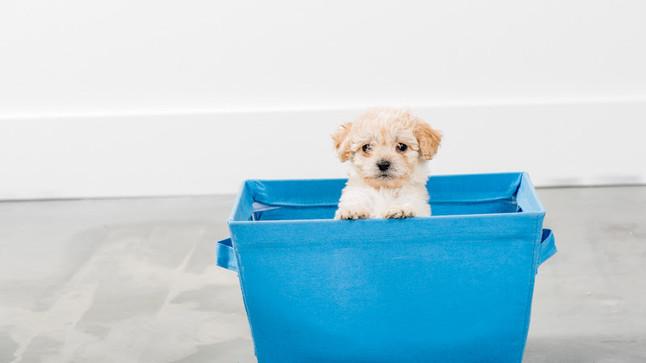 Apartment Puppy