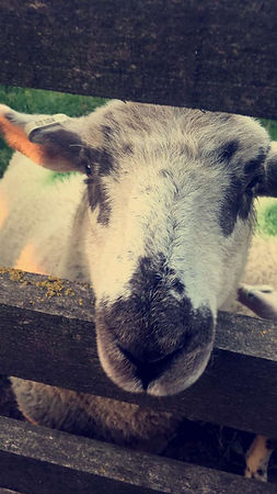 Sheep physiotherapy