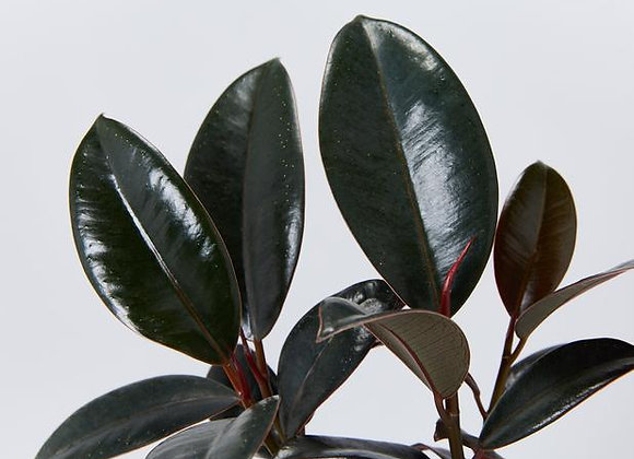Ficus elastica Burgundy 'Rubber Plant'