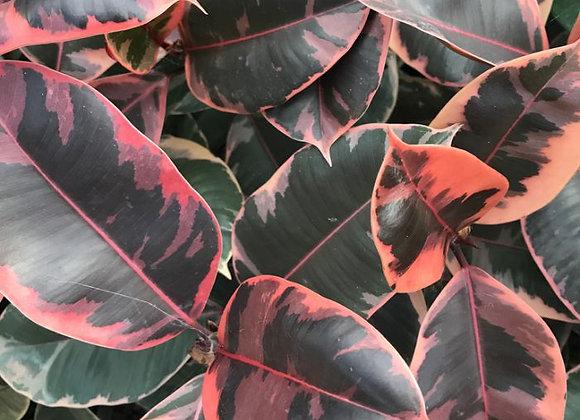Ficus Elastic Ruby