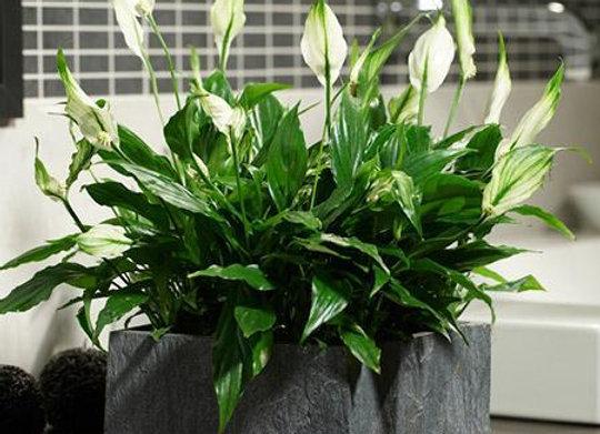 Spathiphyllum cochlearispathum 'Peace Lily'