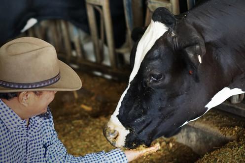 Caring Cow.jpg