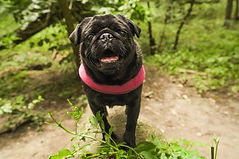 pug in forest.jpg