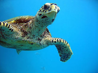 Turtle - Diving in the Seychelles
