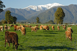 Westland Milk Products Jersey Cows