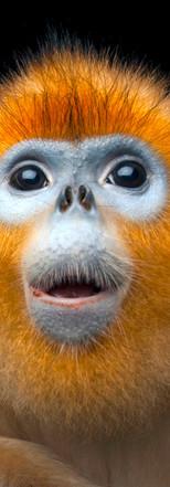 08_Golden Snub-nosed Monkey_ Rhinopithec
