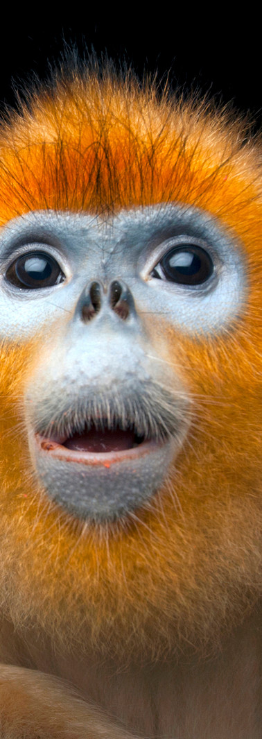 08_Golden Snub-nosed Monkey_ Rhinopithec