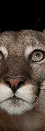 12_Florida Panther_Puma concolor coryi_J