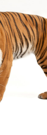 09_Malayan Tiger_Panthera tigris jackson