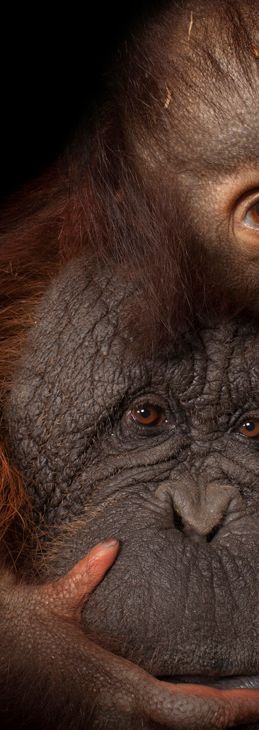 21_Bornean Orangutan_Pongo pygmaeus_Born