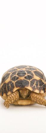25_Burmese Star Tortoises_Geochelone pla