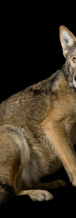 04_Red Wolves_Canis rufus gregoryi_Joel_