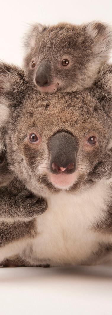 07_Koala_Phascolarctos cinereus_Joel_Sar