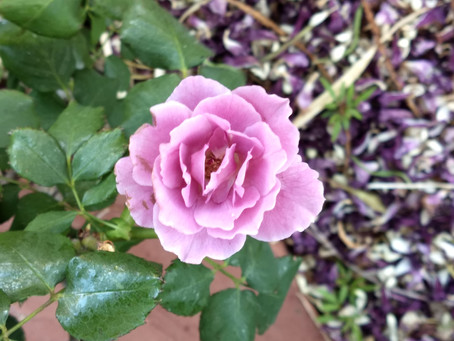 The beauty of a rose.