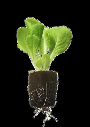 horticube lettuce1.png