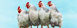 Chicken 2015-12-11-8:52:7