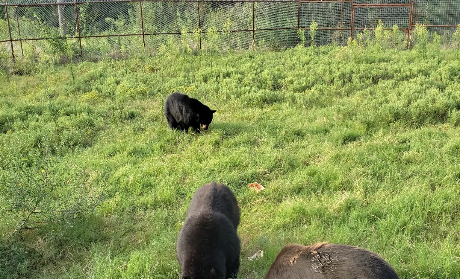 Rescued Black Bears