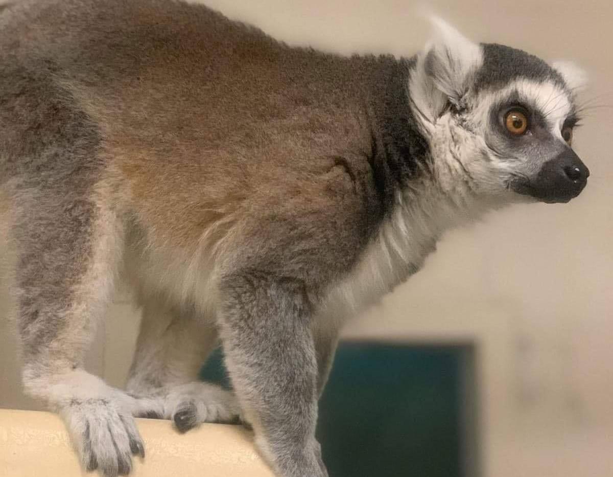 Rescued Lemur