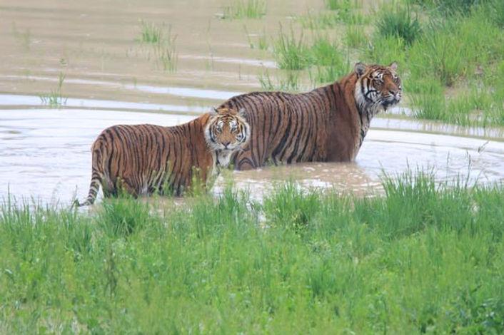 13_tigers_in_lake.jpg
