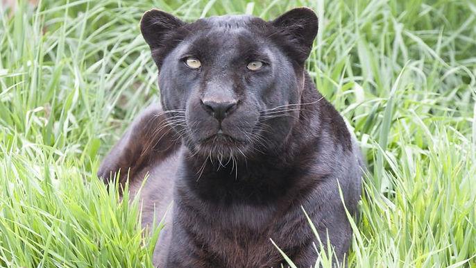 9_black_leopard_eddy_closer.jpg