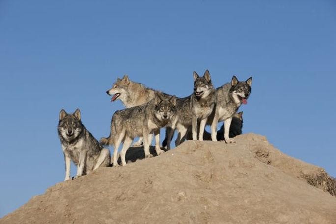 8_east_wolves_looking.jpg