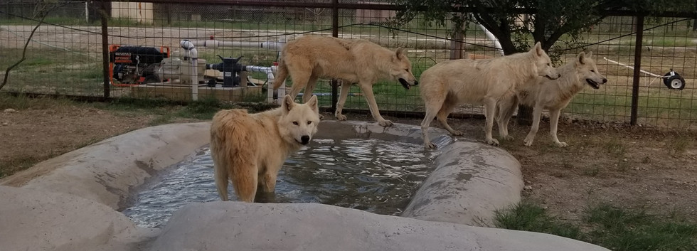 Rescued Wolves
