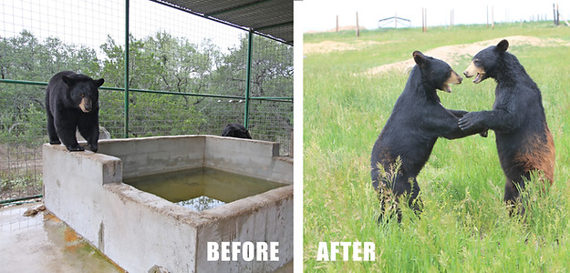 Bears Rescued From Concrete & Steel