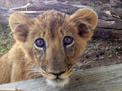 Rescued Lion