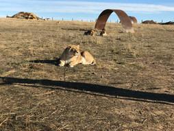 lion pic.jpeg
