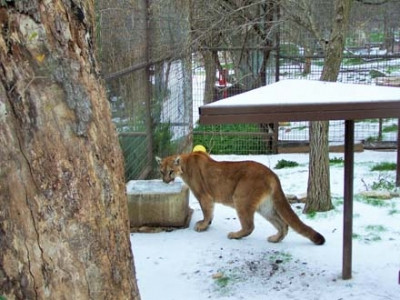 Rescued Mountain Lion