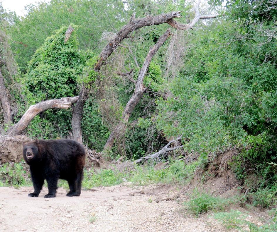 Rescued Black Bear