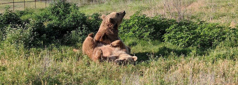 Rescued Brown Bears