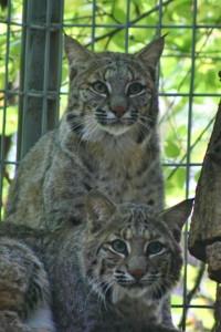 Rescued Lynx