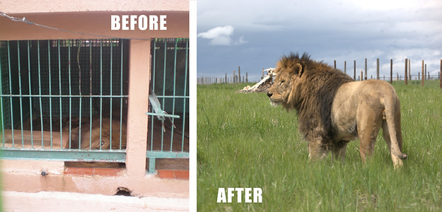 Lions Freed From Prisons