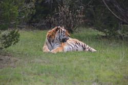 Rehabilitated Tiger