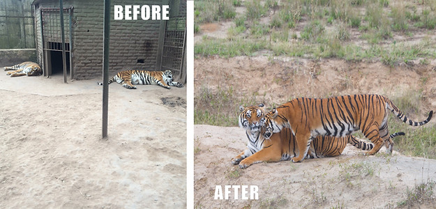 Tigers Rescued From Terrible Zoos