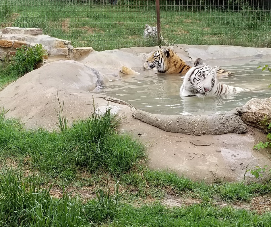 Rescued Tigers