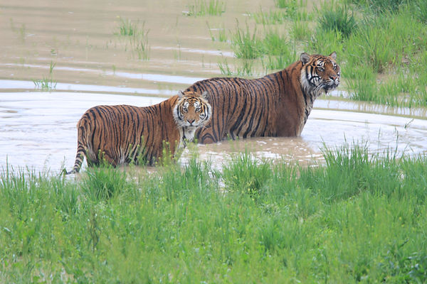two tigers in pond.JPG