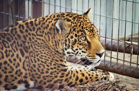 Rescued Jaguar