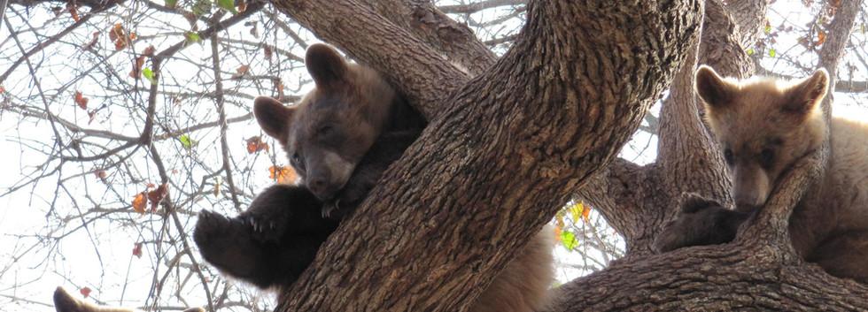 Rescued Bears in Habitat